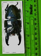 "Large Black Stag Beetle Long Horn Dorcus alcides 80mm 3 1/8"" Male FAST FROM USA"