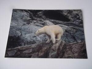 Labrador Canada postcard - polar bear.  Pre-owned (not postally used).