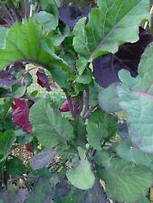 Organic Perennial Purple Tree Collard Cuttings -3 each