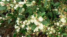 Acacia myrtifolia (20 graines)