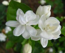 20 Semillas de Jazmin de Arabia (Jasmine Sambac)