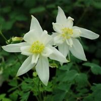Columbine- Crystal Star- 50 Seeds - BOGO 50% off SALE