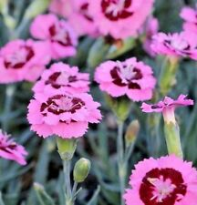 Pinks Dianthus Dwarf 'Evening star'  x 5 jumbo Plug Plants