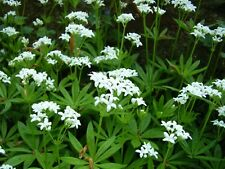3 pots Galium odoratum Sweet Woodruff Fragrant White groundcover wild food