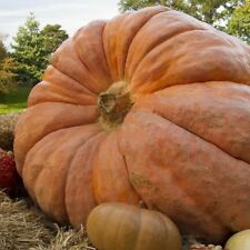 PUMPKIN DILLS ATLANTIC GIANT  - 10 LARGER SEEDS (IMPORTED FROM USA GROWER)