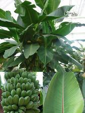Musa sikkimensis - Darjeeling Banana Plant Seeds - 5 Quality Seeds