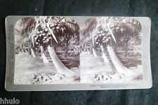 STB498 Floride Cocotier Cocoanut stereoview photo STEREO albumen