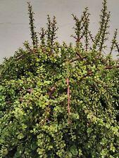 "2 cuttings 6"" Elephant bush Portulacaria afra red stems"