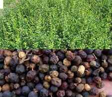 100 Liguster Samen Ligustrum vulgare, Gemeiner Liguster, Rainweide, Beinholz,