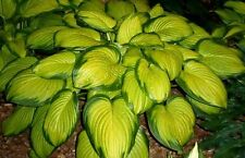 Stained Glass Hosta Hardy Established Heavy Rooted Perennial 1 Qt Potted Plant