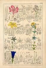 1842 NERIUM OLEANDER GENTIAN FELWORT FLOWERS Antique Hand/Col.Print Petermann