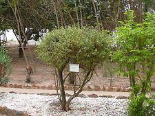 Hennastrauch -Lawsonia inermis- 50 Samen
