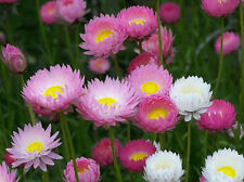 Paper Daisy Everlasting in Germination Media 60 Seeds - Easy to Grow Flowers
