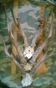 Trophy horns of the Siberian roe deer.