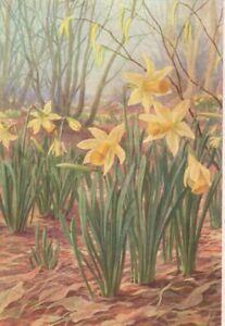 VINTAGE MEDICI postcard:  DAFFODIL FLOWERS by MARIUS FORESTIER