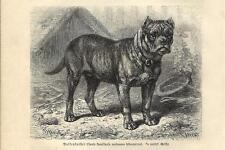 Stampa antica CANE MOLOSSO ALANO IRLANDESE 1891 Antique print dogs