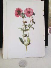Vintage Print,RED AVENS,Familiar Garden Flowers,Hulme