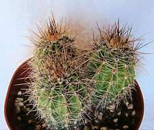 CARNEGIEA GIGANTEA SAGUARO CACTUS APRX. 3-5 INCHES ONE (1) SEED GROWN PLANT