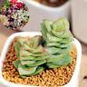 400pcs Mixed Succulent Seeds Lithops Rare Living Plants Cactus Plant Home Stones