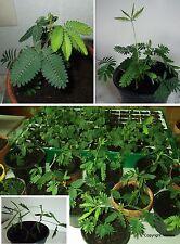 2 Mimose exotische witzige blühende Pflanzen Blumen Duft für drinnen die Wohnung