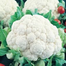 350++ Cauliflower Snowball Y Improved Seeds NON GMO