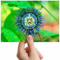 "Passionflower Green Plant Small Photograph 6"" x 4"" Art Print Photo Gift #3555"