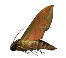 Unmounted Butterfly/Sphingidae - Eumorpha triangulum, male, Bolivia