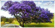 Stunning Blue Jacaranda 100 Seeds- Garden/Bonsai