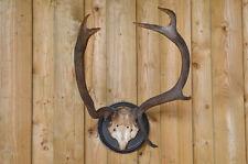 Vintage deer stag antlers with skullcap on wooden shield old original taxidermy
