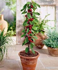 Rare seeds » Prunus avium ( Cherry) variety Columnary´Queen Mary´*5 fresh seeds