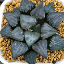 Garden Plants Succulents Haworthia 'Aboukyu'