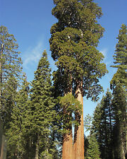 Giant Sequoia - SEQUOIADENDRON GIGANTEUM - 14 Seeds Tree