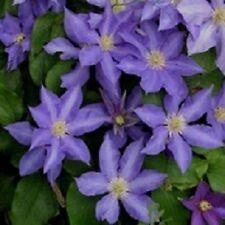 Clematis Six Petal Seeds