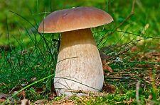 30 g Fresh BOLETUS EDULIS Cep Porcini Mycelium Mushroom Spawn Seeds Spores