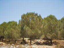 25 Israeli  Pine Seeds Jerusalem Stone Pinus Pinea Christmas Tree Bonsai אורן