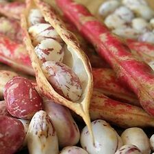 Bean Pinto Vegetable Seeds (Phaseolus vulgaris) 30+Seeds