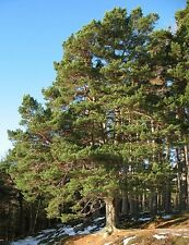 SCOTS PINE. PINUS SYLVESTRIS 25 SEEDS EASY TO GROW