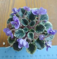 African Violet Plant - Wichita Baby ~ dbl blue-variegated mini~ in bloom
