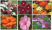 New listing Cosmos Annual Wind Flowers * All Pretty Mixed Colors in One Pack * 100 + Seeds