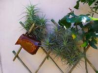 plantes aériennes sans terre , soleil   6à 8ramifications +supplements verveine