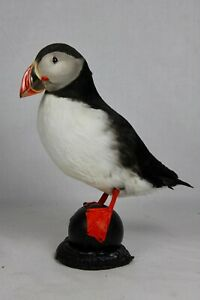 Puffin, #4, Taxidermy, Atlantic, nature, real, authentic, hand made.