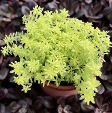 Golden Moss Sedum - 2 1/4 Inch Pot $2.74 + Shipping