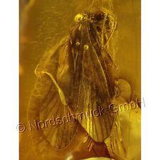 Bernstein Inkluse Inklusen Einschluss Insekt 2 Köcherfliegen Trichoptera IN193