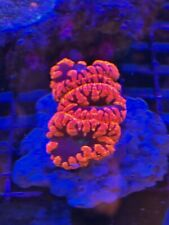 Pop Corals Blasto Colony WYSIWYG Live Coral Frag - Pop Corals Candy Shop