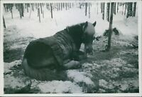 Finnish-Russian War 1939-40A horse lying on a snowy ground, during the war in Fi