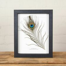 More details for peacock feather from an indian peafowl in box frame (pavo cristatus)