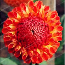 2 PC True Color Mixing Dahlia Bulb Flower(Not Dahlia Seeds) COLOR 4