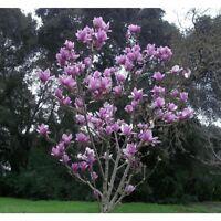 5 Purple Magnolia Seeds LILY FLOWER TREE Fragrant Tulip Magnol Liliiflora Bloom