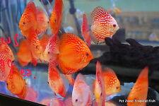 Pigeon Blood Discus, Medium - Beautiful Live Tropical Fish Discus Cichlid