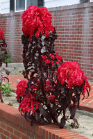 150+ Samen Amaranthus Molten Fire - Amaranth
